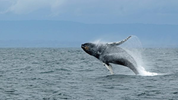 Whale jumping out of the water - Photo by Ilse Orsel
