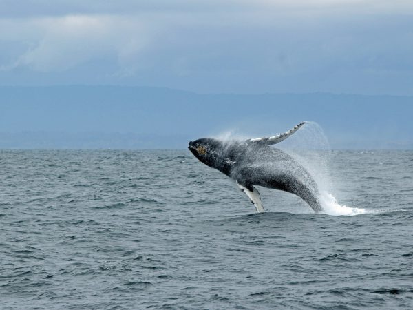 Whale jumping out of the water - Picture by Ilse Orsel